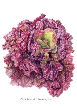 Lettuce Leaf Red Sails Seeds