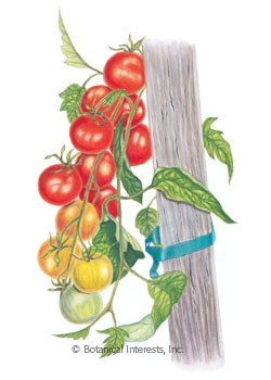 Tomato Cherry Gardener's Delight HEIRLOOM Seeds
