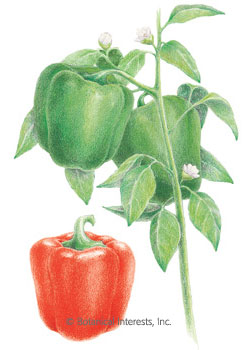 Pepper Sweet Yolo Wonder HEIRLOOM Seeds