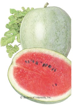 Watermelon Ice Box Mickylee Seeds