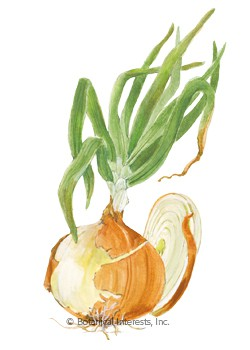 Onion Bulb Yellow Granex PRR Seeds
