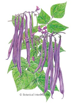 Bean Bush Royal Burgundy Seeds