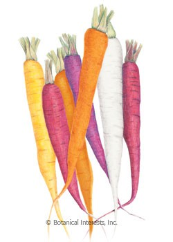 Carrot Calliope Blend Seeds