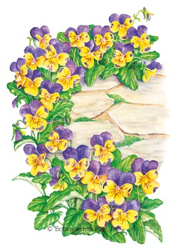 Viola Johnny-Jump-Up HEIRLOOM Seeds