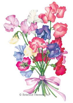 Sweet Pea Bouquet Blend Seeds