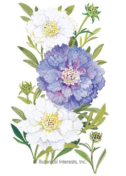 Scabiosa Pincushion Flower - Isaac House Blend HEIRLOOM Seeds
