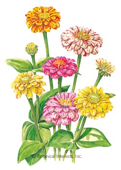 Zinnia Peppermint Stick Seeds