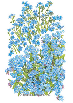 Forget-Me-Not Spring and Summer HEIRLOOM Seeds