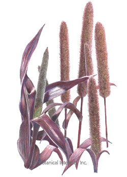 Ornamental Millet Purple Majesty Seeds