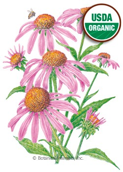 Echinacea Purple Coneflower Organic Seeds