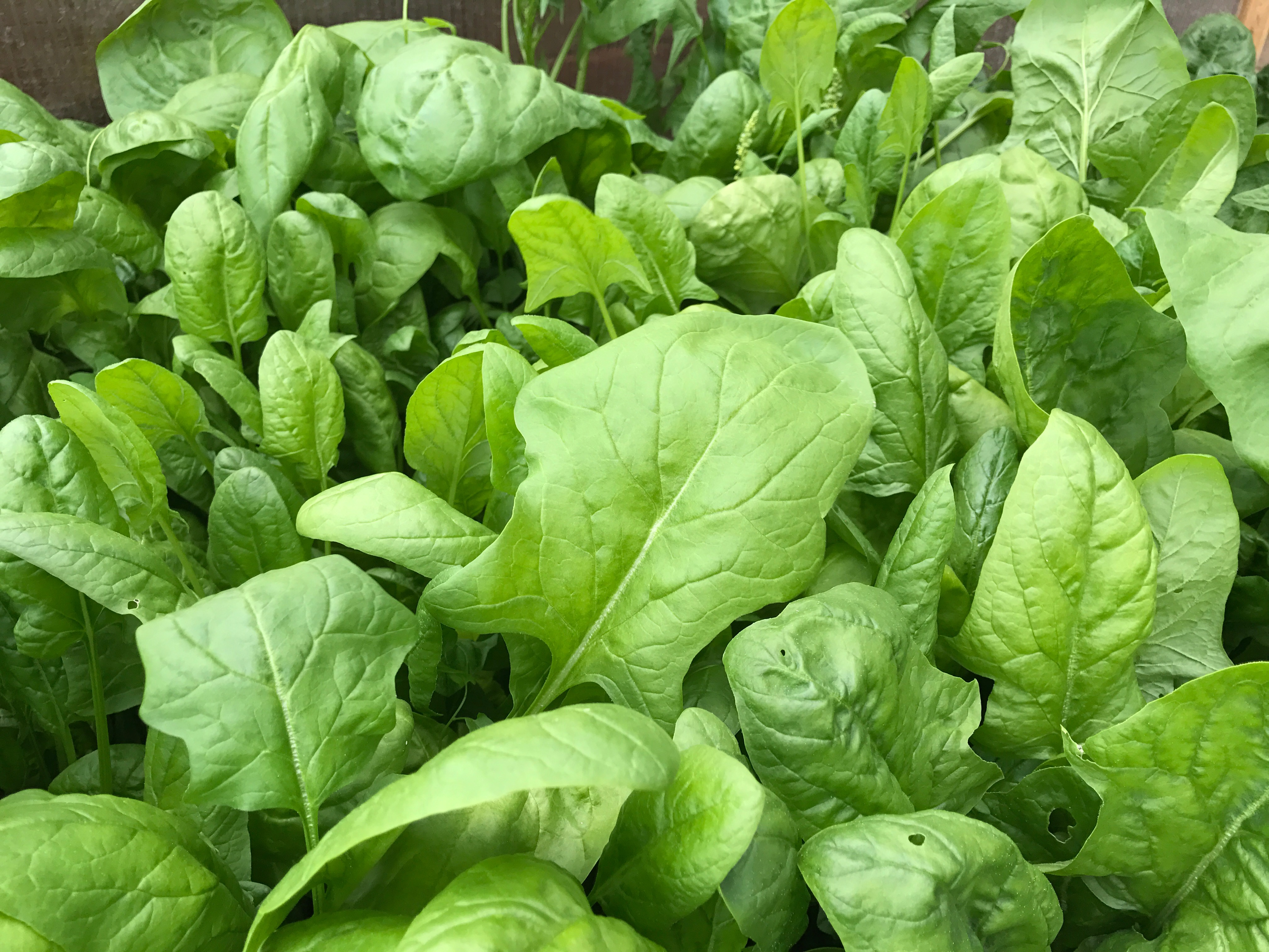 Spinach: Sow and Grow
