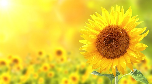 Sunflowers: Sow and Grow Guide