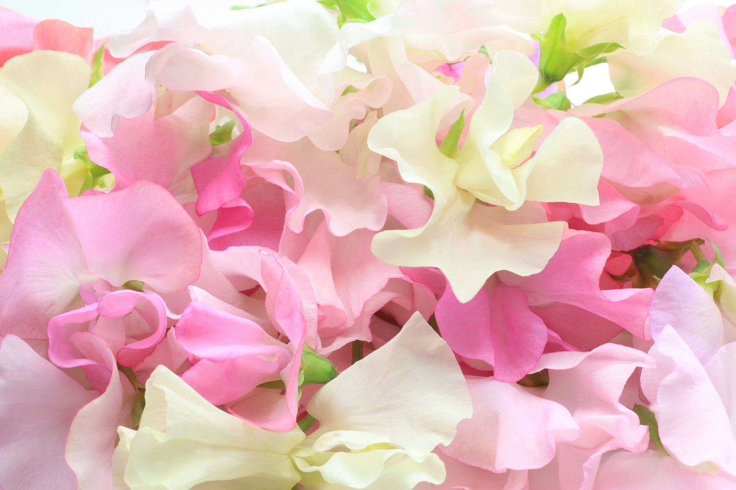 Sweet Peas: All About Sweet Peas