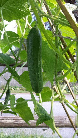 Cucumbers: Sow and Grow Guide