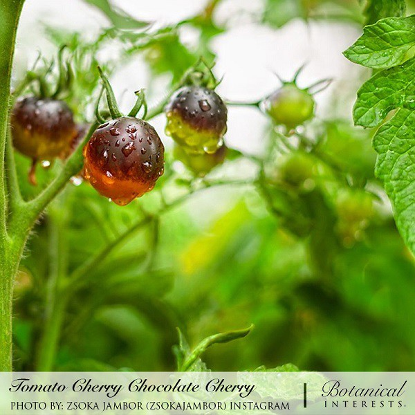 Tomatoes: Common Pest and Disease Management