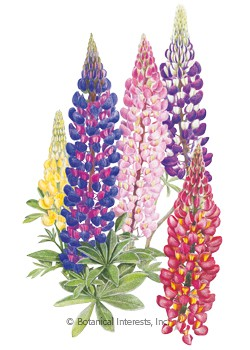 Lupine Russell Blend HEIRLOOM Seeds