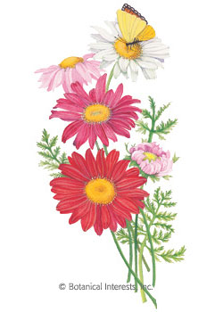 Painted Daisy Robinson's Blend Seeds