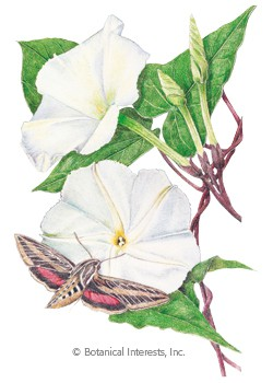 Moonflower HEIRLOOM Seeds