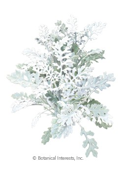 Dusty Miller Silverdust Seeds