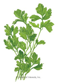 Parsley Italian Dark Green Flat HEIRLOOM Seeds